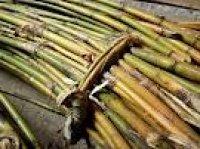 根曲り竹(チシマザサ)